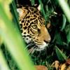 jaguar_Magdalena