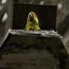 inicio_Yellow-eared_parrot
