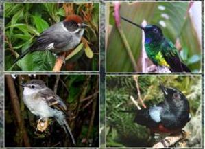 Algunas aves asociadas a Polylepis