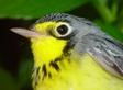 82.Wilsonia_canadensis.Cascada.DVR_10_