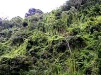 Chuscal_habitat_del_Hormiguero_Pico_de_Hacha