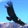 Condor2_-_Copy