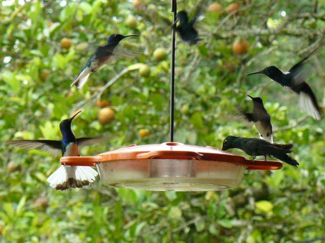 colibris pauxi