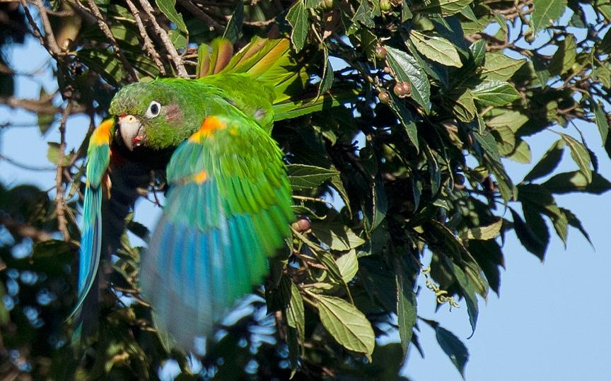 Inicio_web_Santa-Marta-Parakeet_Murray-Cooper_U