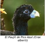 paujil_pico_azul_2