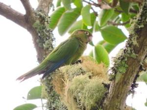 Periquito de Santa Marta (Pyrrhura viridicata) 2RNA El Dorado ProAves FLICKR