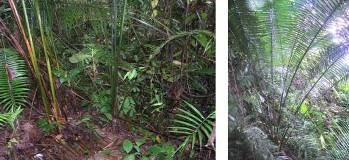 Izq. Hábitat natural de la tagua. Bosque primario. Der. palma de tagua