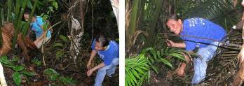 La tagua crece en medio del bosque rodeada de distintas especies vegetales, en zonas bajas y húmedas.