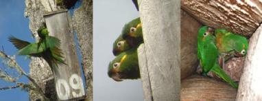 Crianza a cargo de tres individuos de Perico Paramuno