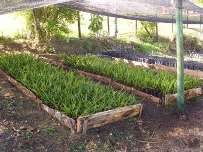 Proaves y municipio de jard n reforestan juntos for Vivero municipal