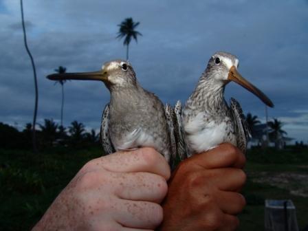 Gallinagos capturados en Dhorva Pond.