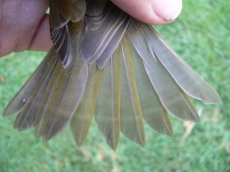 Barras de crecimiento en las rectríces de una Vermivora peregrina.