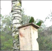 Pareja de Periquitos de Santa Marta en nido artificial