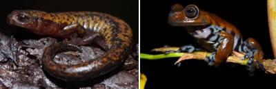 Paramo Frontino Salamander (Bolitoglossa hypacra)            Cordillera Central Treefrog (Hyloscirtus larinopygion)