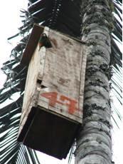 Periquito de Santa Marta en nido artificial